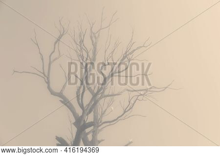 Sulphur Crest Cockatoos In A Tree In The Fog In The Blue Mountains In New South Wales In Australia