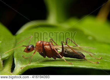 Macro Of Flying Ants On Green Leaf In Rainny Season. Male Ant With Wing On Green Leave.