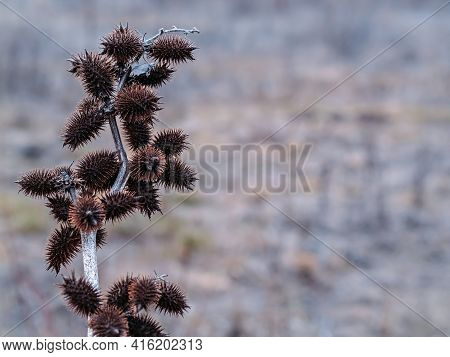 Thistle Thistle Xanthium Strumarium On A Blurred Background.