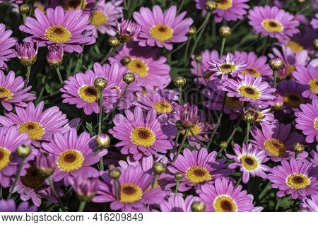 Pink Cultivated Flowers Marguerite Daisy Close-up On Agricultural Field
