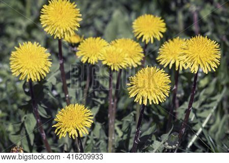 Among The Green Herbs In Bloom A Bright Yellow Dandelion Flowers.