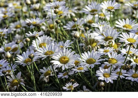White Cultivated Flowers Marguerite Daisy Close-up On Agricultural Field