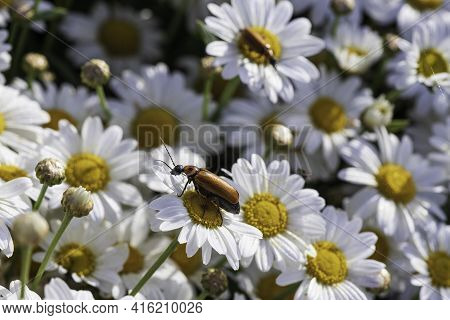 Blister Beetle Sitting On A White Marguerite Daisy Flower Close-up