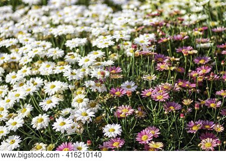 Multicolored Cultivated Flowers Marguerite Daisy Close-up On Agricultural Field