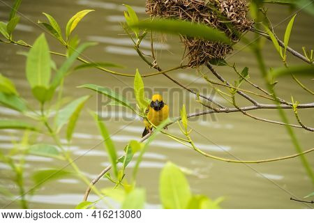Asian Golden Weaver Perching On Grass Stem In Paddy Field. Ploceus Hypoxanthus Bird In Tropical Fore