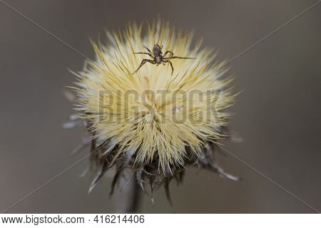 Spider On Dry Plant. Unusual Dried Wild Flower. Dry Plant In A Web On Nature. Dry Yellow Fluffy Fore