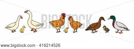 Set Of Vector Outline Doodle Cartoon Duck, Goose, Cock Families. Males, Females And Yellow Babies. I