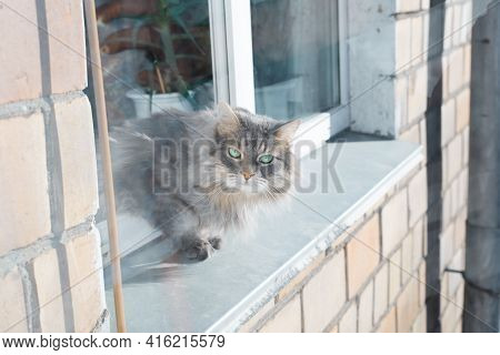 Fluffy Gray Cat On Windowsill Outside. Curious Green-eyed Siberian Cat Climbed Out Of The Open Windo