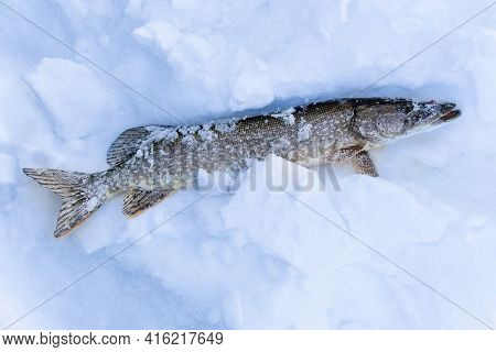 Northern Pike Esox Lucius Cought During Ice Fishing Lying On Snow. Fishing Trophy