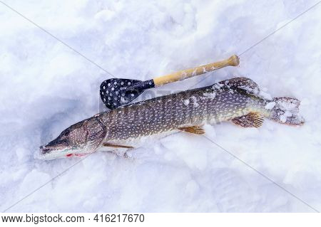 Pike Fishing In Winter From The Ice. Sport Fishing On The Predator.