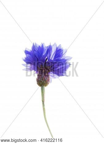 Blue Flower Of Cornflower Isolated On White Background With Soft Blurred Focus. Summer Or Spring Tim