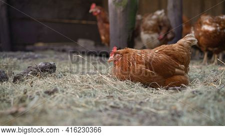 Chicken Farm. Industrial Poultry Farming Of Chickens. Laying Hen Farm. Intensive Closed-system Poult