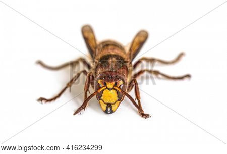 Front view Hornet, Vespa Crabro, isolated on white