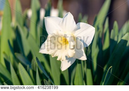 White Daffodil (narcissus)on Green Background. Narcissus, Flower, Pattern End Natural.
