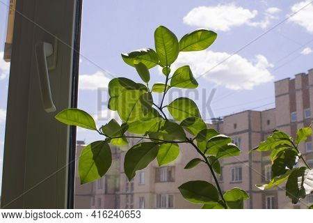 Lemon Tree In The Apartment. Green Citrus Lemon Plant On The Window, In The Distance The Urban Backg