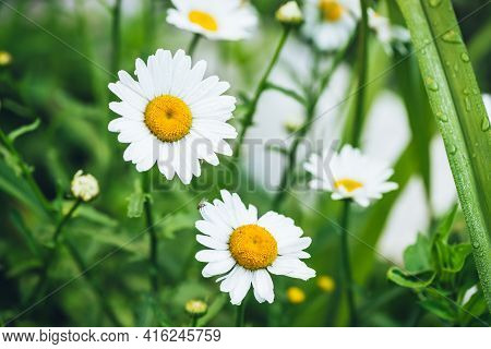 Small Fly On Wet Chamomile Petals Close-up On Green Nature Background. Vivid Natural Backdrop With S