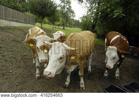 Cow In An Open Barn