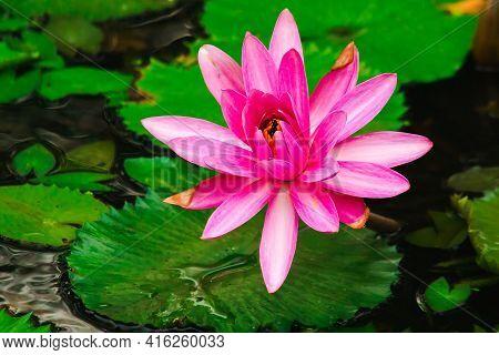 Pink Lotus Bloom In The Pond