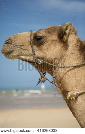 Camels Resting Under The Sun Near Essaouira On The Beach Of Sidi Kaouki, Morocco