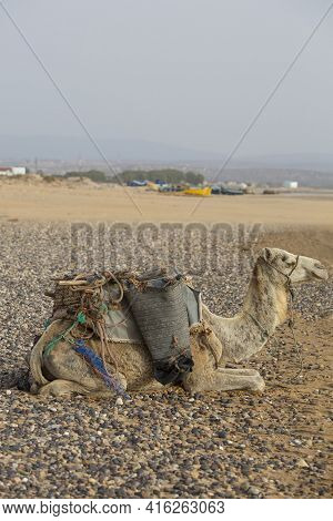 Camels Resting Under The Sun Near Essaouira On The Beach Of Sidi Kaouki With Fisher Boats In The Bac