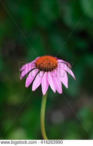 Vertical format with single hedgehog coneflower with pink petals on bokeh green background. Echinace