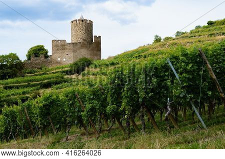 Summer View Of The Medieval Castle Ruins Between The Vines Of The Vineyard Of Keysersberg, Famous Wi