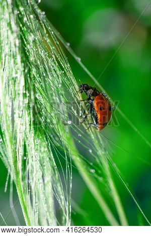 Botanical Backdrop.square Format Macro Photo With Sunlit Backlight Red Dotted Lady Bug On Long Grass