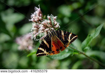 Jersey Tiger Moth On A Flower (euplagia Quadripunctaria, Arctiidae Family)