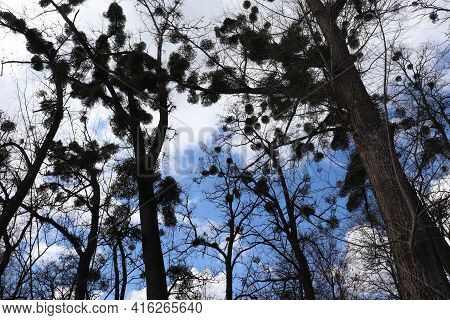 Trees Infested With Mistletoe Parasites On A Blue Sky With White Clouds Background In The Spring Par