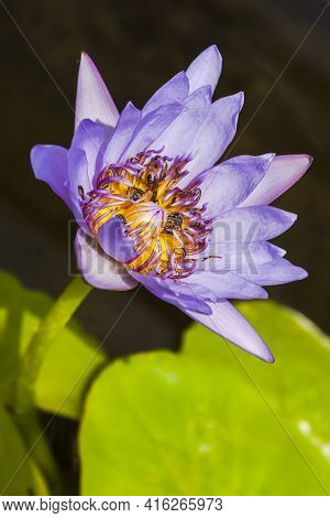 Big Wild Purple Water Lily Or Lotus Flower, Nelumbo Nucifera In The Water. Nymphaea In The Pond.