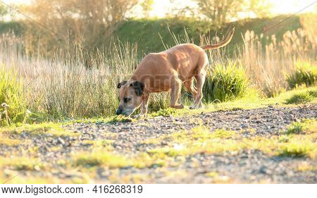 Senior Staffordshire Bull Terrier Dog Sniffing In The Nature