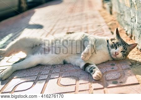 Beautiful stray adult cat with blue eyes lying down at the street