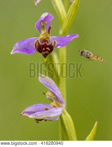 Hoverfly Near Bee Orchid (ophrys Apifera) Pink Flowers Mimicing Humblebee Insects To Polinate The Fl