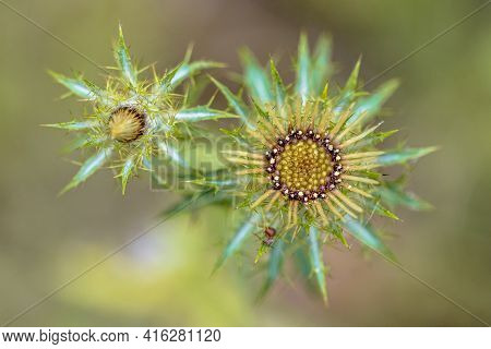 Thistle Flower (carlina Vulgaris) Artistic Top Down View Of Plant With Colorful Background