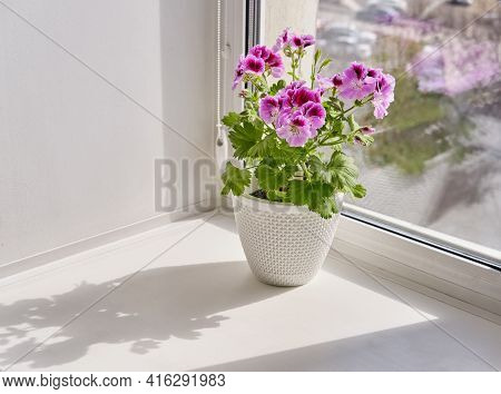 Blooming Houseplant Pelargonium Regal In A White Pot Stands On A Window Sill
