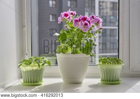 Young Plants Of Tomato, Bell Pepper In Green Pots And Blooming Houseplant Pelargonium Regal In A Whi