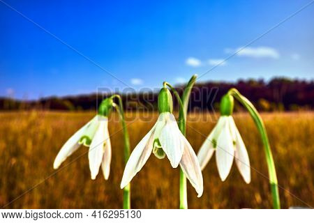 White Blooming Snowdrops In A Meadow In Spring In Poland