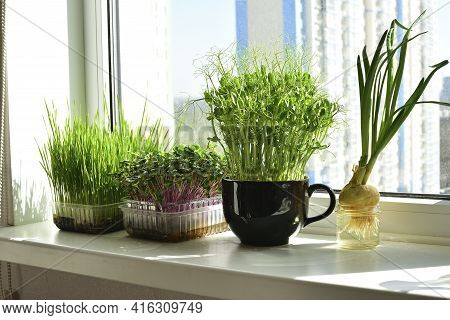 Micro-greens In A Box And Sprayer, Fresh Green Onions, Placed On The Windowsill.vitamins On Windowsi