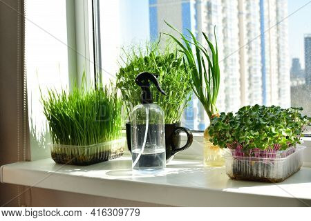 Micro-greens In A Box And Sprayer Close-up, Placed On The Windowsill.vitamins On Windowsill. Vegan A