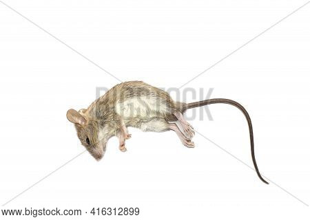 Dead Rat (mouse), Isolated On White Background.rat Are Carriers Of Pathogens, So Find A Way To Elimi