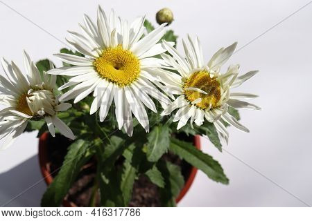 White Daisy Flowers In The Pot On A Table At Home. Top View Of Large Garden Chamomile On White Backg