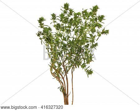 Summer Savory Thyme Plant Isolated On White, Satureja Hortensis