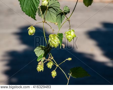 Climbing Plant Common Hop (humulus Lupulus) With Cone Shaped Fruits In Sunlight. Main And Most Commo