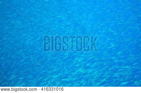 School Of Fish In Blue Sea. Small Sardine School In Blue Ocean. Seafish Underwater Photo. Pelagic Fi
