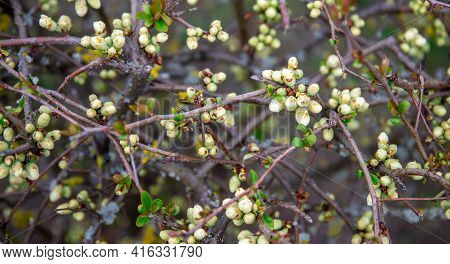 Spring Morning, In A Shrub At The Beginning Of Flowering, Inflorescences With White Buds Between Gre