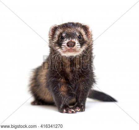 European polecat facing and looking at the camera, isolated
