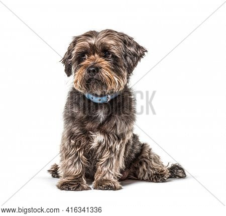 Worried  Scruffy Crossbreed dog wearing a blue collar, isolated