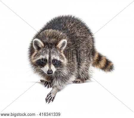 Young curious raccoon looking and leaning down on a white space, isolated