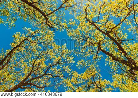 Canopy Of Tall Trees With Young Spring Foliage Leaves. Spring Sunlight In Upper Branches Of Woods In