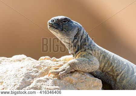 A Green Leptien's Spiny Tailed Lizard (uromastyx Aegyptia Leptieni) Resting On A Rock Very Close Up.